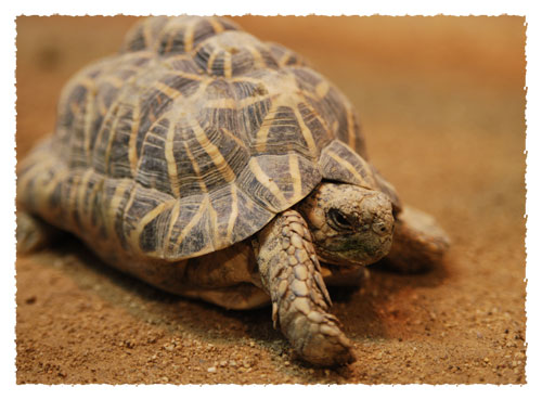 Indian star tortoise gets its name from the radiating star patterns on